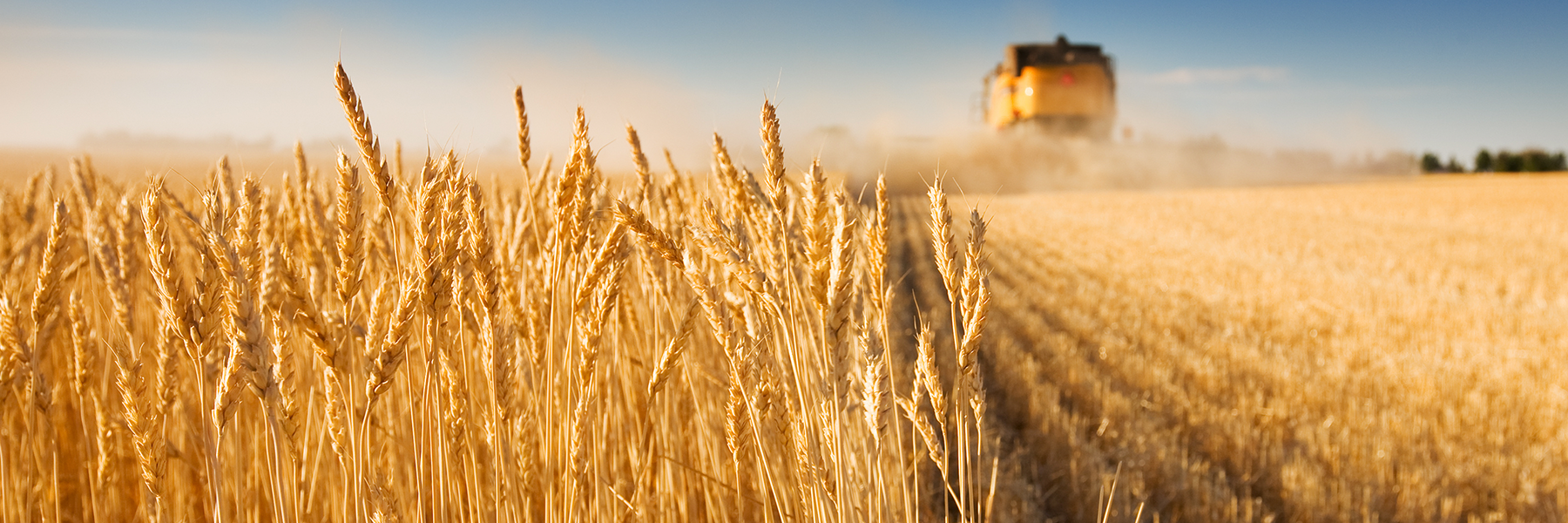 Cereals wheat