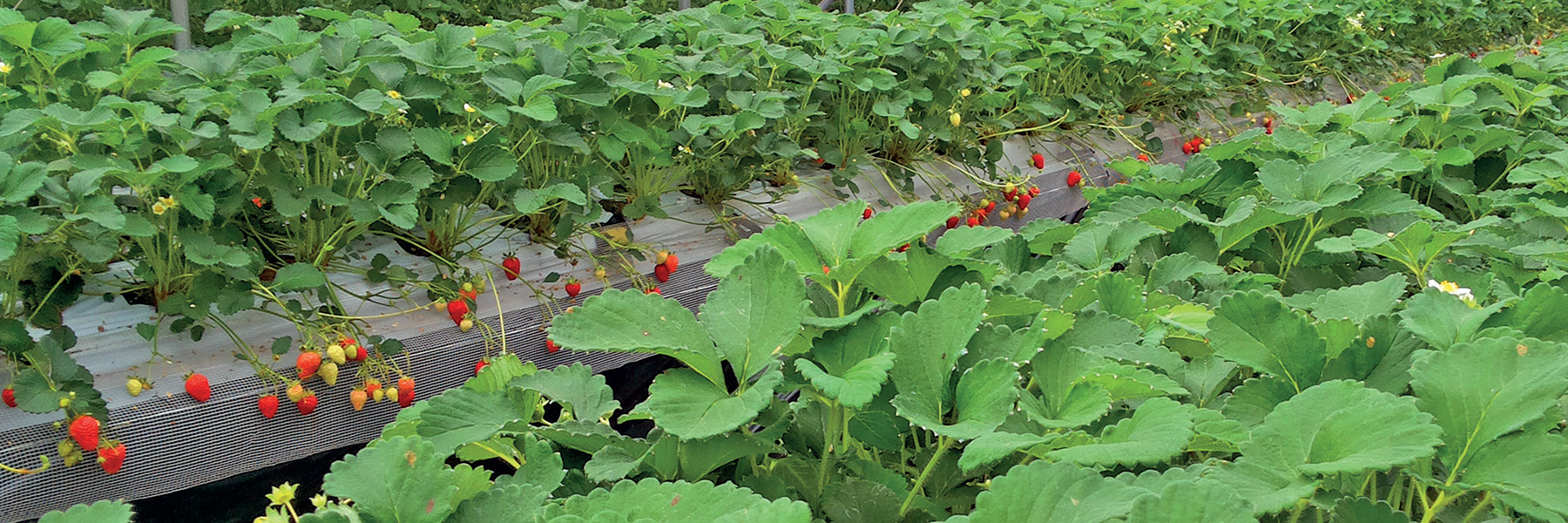 AlgaFlex increases productivity in strawberry cropping